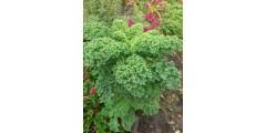 Особенности выращивания различных видов капусты от Веры Каменской