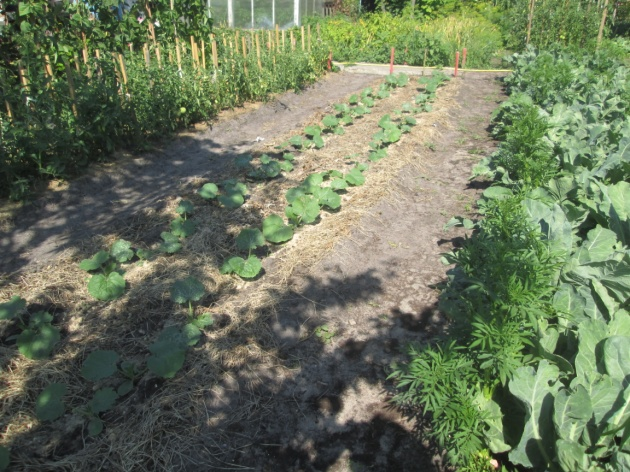 Что можно посадить на участке в конце июля, чтобы успеть собрать второй урожай?