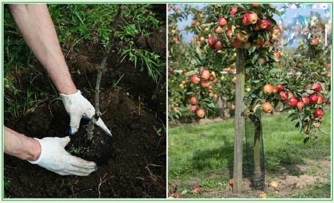 Опыт применения раствора Эмикс при выращивании деревьев