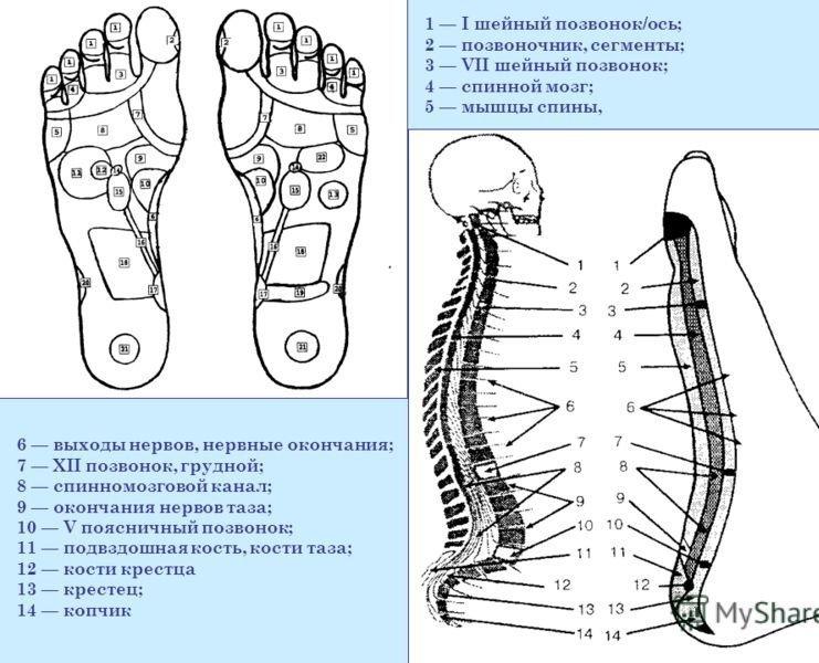 Внутренняя поверхность стопы – расположение позвоночника
