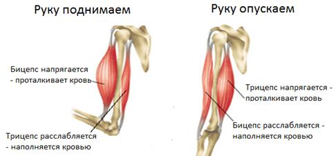 Работа мышщ